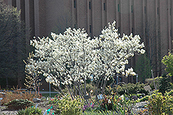 Autumn Brilliance Serviceberry (Amelanchier x grandiflora 'Autumn Brilliance') at Wasco Nursery