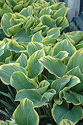 Sagae Hosta (Hosta 'Sagae') at Wasco Nursery
