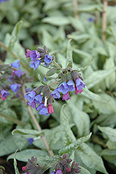 Cotton Cool Lungwort (Pulmonaria 'Cotton Cool') at Wasco Nursery