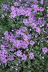 Fort Hill Moss Phlox (Phlox subulata 'Fort Hill') at Wasco Nursery