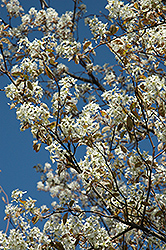 Princess Diana Serviceberry (Amelanchier x grandiflora 'Princess Diana') at Wasco Nursery