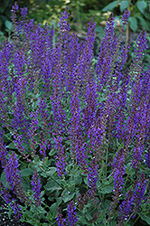 May Night Sage (Salvia x sylvestris 'May Night') at Wasco Nursery