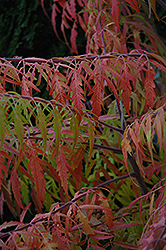 Tiger Eyes® Sumac (Rhus typhina 'Bailtiger') at Wasco Nursery
