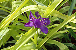 Blue And Gold Spiderwort (Tradescantia x andersoniana 'Blue And Gold') at Wasco Nursery