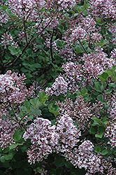 Dwarf Korean Lilac (Syringa meyeri 'Palibin') at Wasco Nursery
