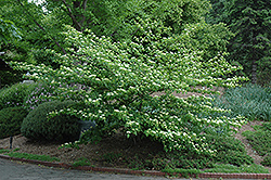 Pagoda Dogwood (Cornus alternifolia) at Wasco Nursery