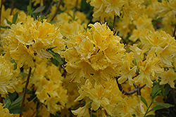 Lemon Lights Azalea (Rhododendron 'Lemon Lights') at Wasco Nursery