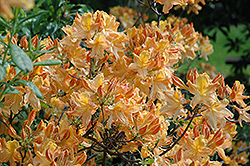 Golden Lights Azalea (Rhododendron 'Golden Lights') at Wasco Nursery