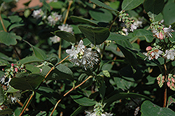 Snowberry (Symphoricarpos albus) at Wasco Nursery
