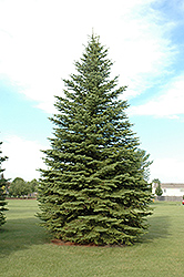 Colorado Spruce (Picea pungens) at Wasco Nursery