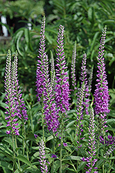 Eveline Speedwell (Veronica longifolia 'Eveline') at Wasco Nursery
