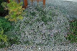Common Baby's Breath (Gypsophila paniculata) at Wasco Nursery