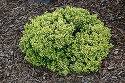Golden Nugget Japanese Barberry (Berberis thunbergii 'Golden Nugget') at Wasco Nursery