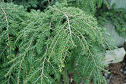 Gracilis Hemlock (Tsuga canadensis 'Gracilis') at Wasco Nursery