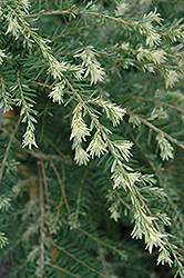 Summer Snow Hemlock (Tsuga canadensis 'Summer Snow') at Wasco Nursery
