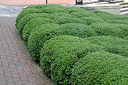 Chicagoland Green Boxwood (Buxus 'Glencoe') at Wasco Nursery