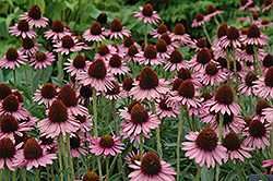 Pixie Meadowbrite Coneflower (Echinacea 'Pixie Meadowbrite') at Wasco Nursery