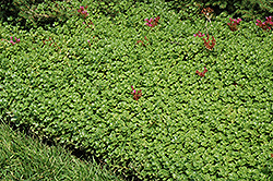 John Creech Stonecrop (Sedum spurium 'John Creech') at Wasco Nursery