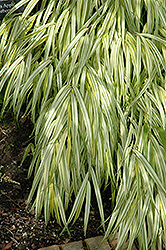 Golden Variegated Hakone Grass (Hakonechloa macra 'Aureola') at Wasco Nursery