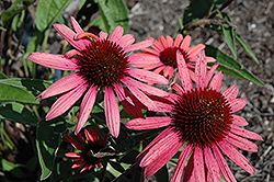 Big Sky Twilight Coneflower (Echinacea 'Big Sky Twilight') at Wasco Nursery