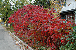 Staghorn Sumac (Rhus typhina) at Wasco Nursery