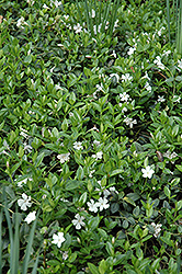 White Periwinkle (Vinca minor 'Alba') at Wasco Nursery