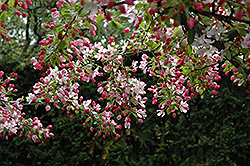 Calocarpa Zumi Flowering Crab (Malus x zumi 'Calocarpa') at Wasco Nursery