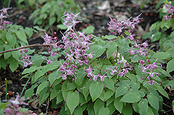 Lilafee Bishop's Hat (Epimedium grandiflorum 'Lilafee') at Wasco Nursery