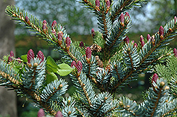 Howell's Dwarf Tigertail Spruce (Picea bicolor 'Howell's Dwarf Tigertail') at Wasco Nursery