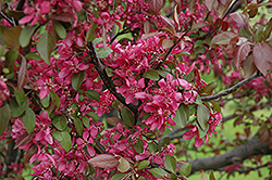 Profusion Flowering Crab (Malus 'Profusion') at Wasco Nursery