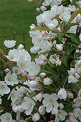 Adirondack Flowering Crab (Malus 'Adirondack') at Wasco Nursery