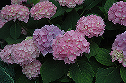 Endless Summer® Hydrangea (Hydrangea macrophylla 'Endless Summer') at Wasco Nursery