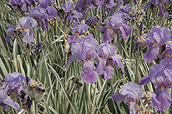Variegated Sweet Iris (Iris pallida 'Variegata') at Wasco Nursery