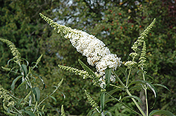 White Profusion Butterfly Bush (Buddleia davidii 'White Profusion') at Wasco Nursery
