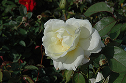 Macy's Pride™ Rose (Rosa 'BAIcream') at Wasco Nursery
