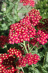 Red Velvet Yarrow (Achillea millefolium 'Red Velvet') at Wasco Nursery