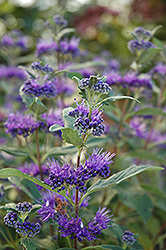 Dark Knight Caryopteris (Caryopteris x clandonensis 'Dark Knight') at Wasco Nursery