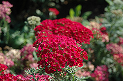 Pomegranate Yarrow (Achillea millefolium 'Pomegranate') at Oakland Nurseries Inc