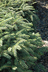 Elegans Spruce (Picea abies 'Elegans') at Wasco Nursery