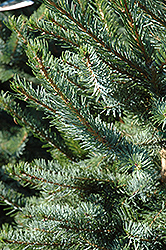 Bruns Spruce (Picea omorika 'Bruns') at Wasco Nursery