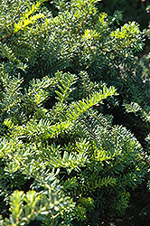 Emerald Spreader Yew (Taxus cuspidata 'Emerald Spreader') at Wasco Nursery