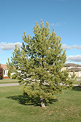 French Blue Scotch Pine (Pinus sylvestris 'French Blue') at Wasco Nursery