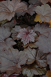 Blackout Coral Bells (Heuchera 'Blackout') at Wasco Nursery