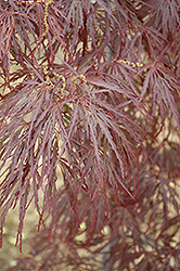 Garnet Cutleaf Japanese Maple (Acer palmatum 'Garnet') at Wasco Nursery