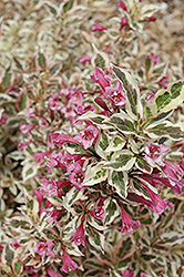 My Monet® Weigela (Weigela florida 'Verweig') at Wasco Nursery