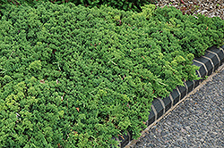 Green Mound Dwarf Japanese Juniper (Juniperus procumbens 'Green Mound') at Wasco Nursery