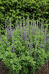 Blue Wild Indigo (Baptisia australis) at Wasco Nursery
