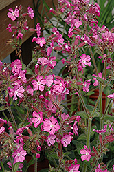 Rolly's Favorite Campion (Silene 'Rolly's Favorite') at Wasco Nursery