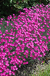 Firewitch Pinks (Dianthus gratianopolitanus 'Firewitch') at Wasco Nursery