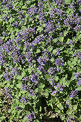 Little Titch Catmint (Nepeta racemosa 'Little Titch') at Wasco Nursery